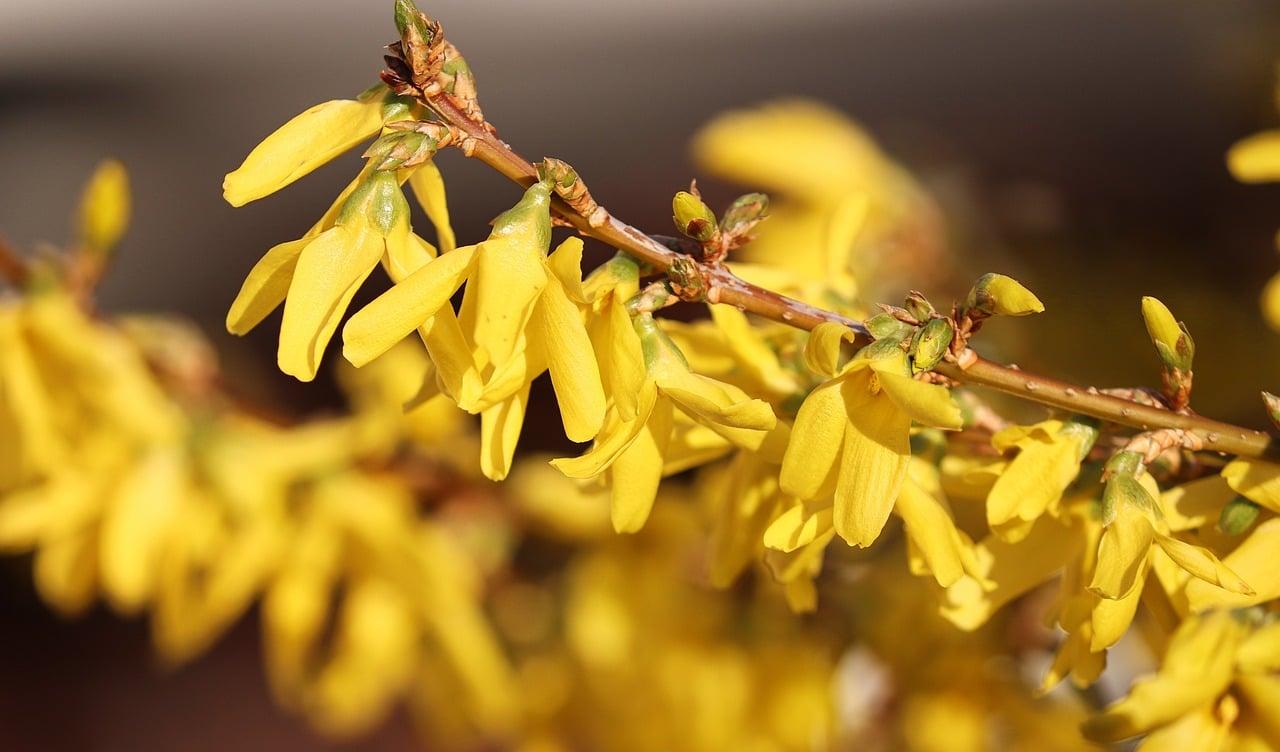 forsythia jaune