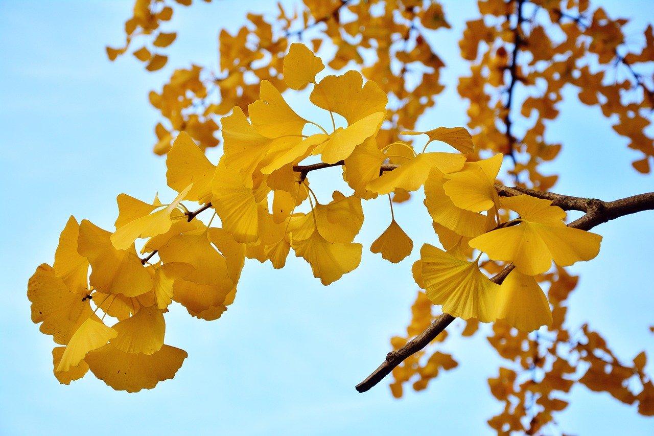 ginkgo jaune