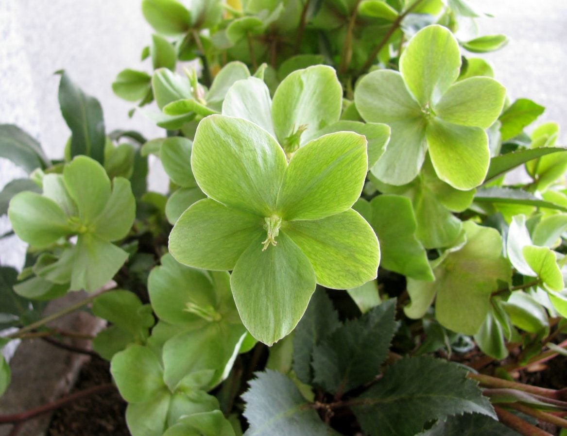 hellebore fleur verte