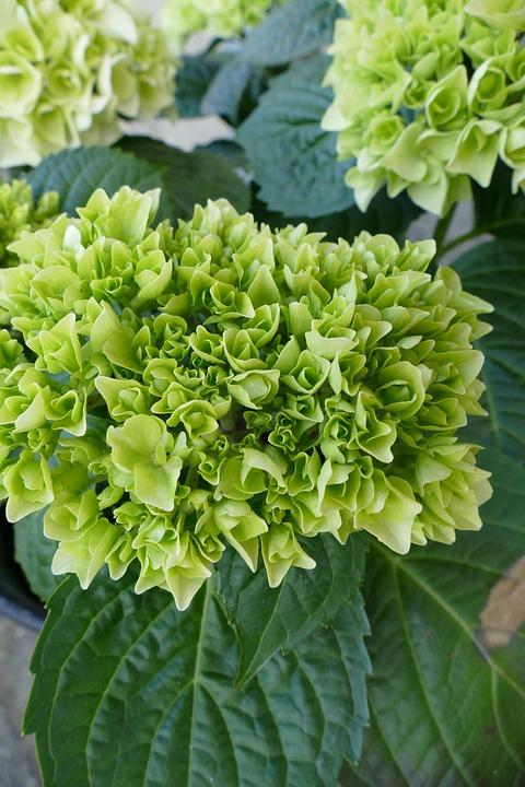 hydrangea hortensia vert