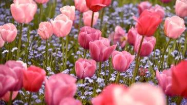 printemps tulipes