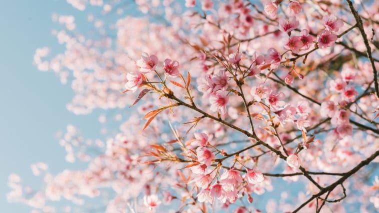 fleurs de cerisier printemps