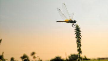 libellule jardin insecte
