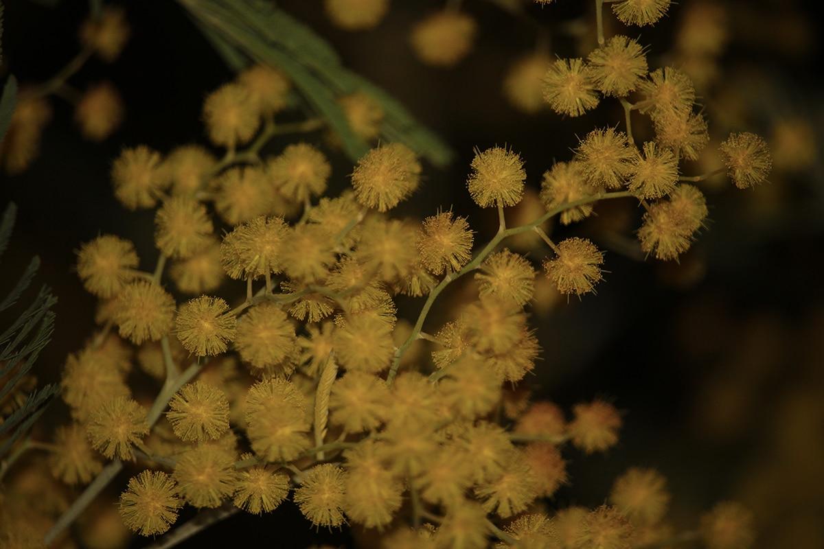 mimosa jaune