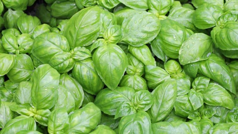 basilic feuilles plante aromatique