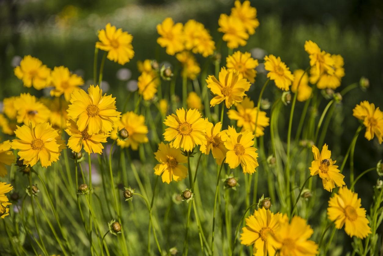 coreopsis fleur jaune