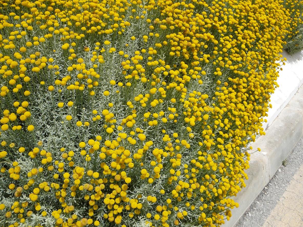 craspedie fleur jaune