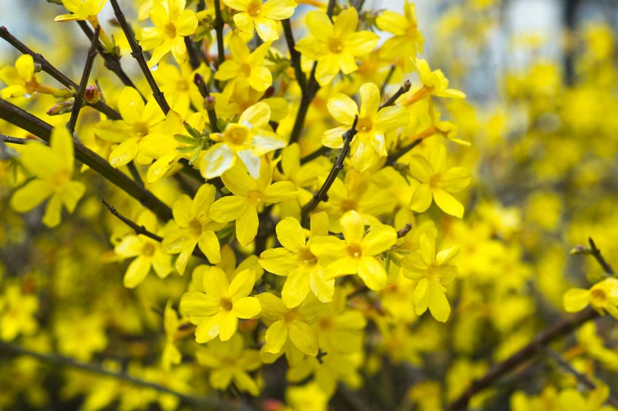 jasmin d'hiver fleur jaune