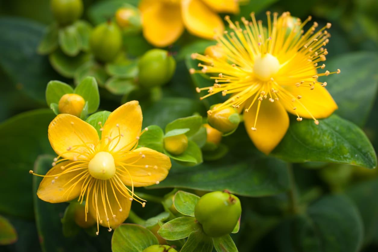millepertuis fleur jaune