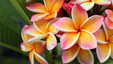 plumeria frangipanier fleur