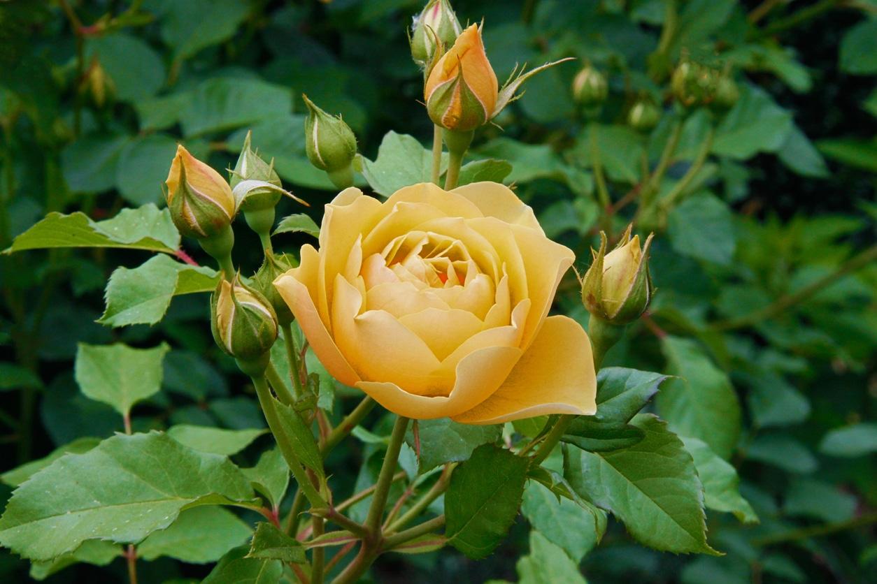 rose Graham Thomas fleur jaune