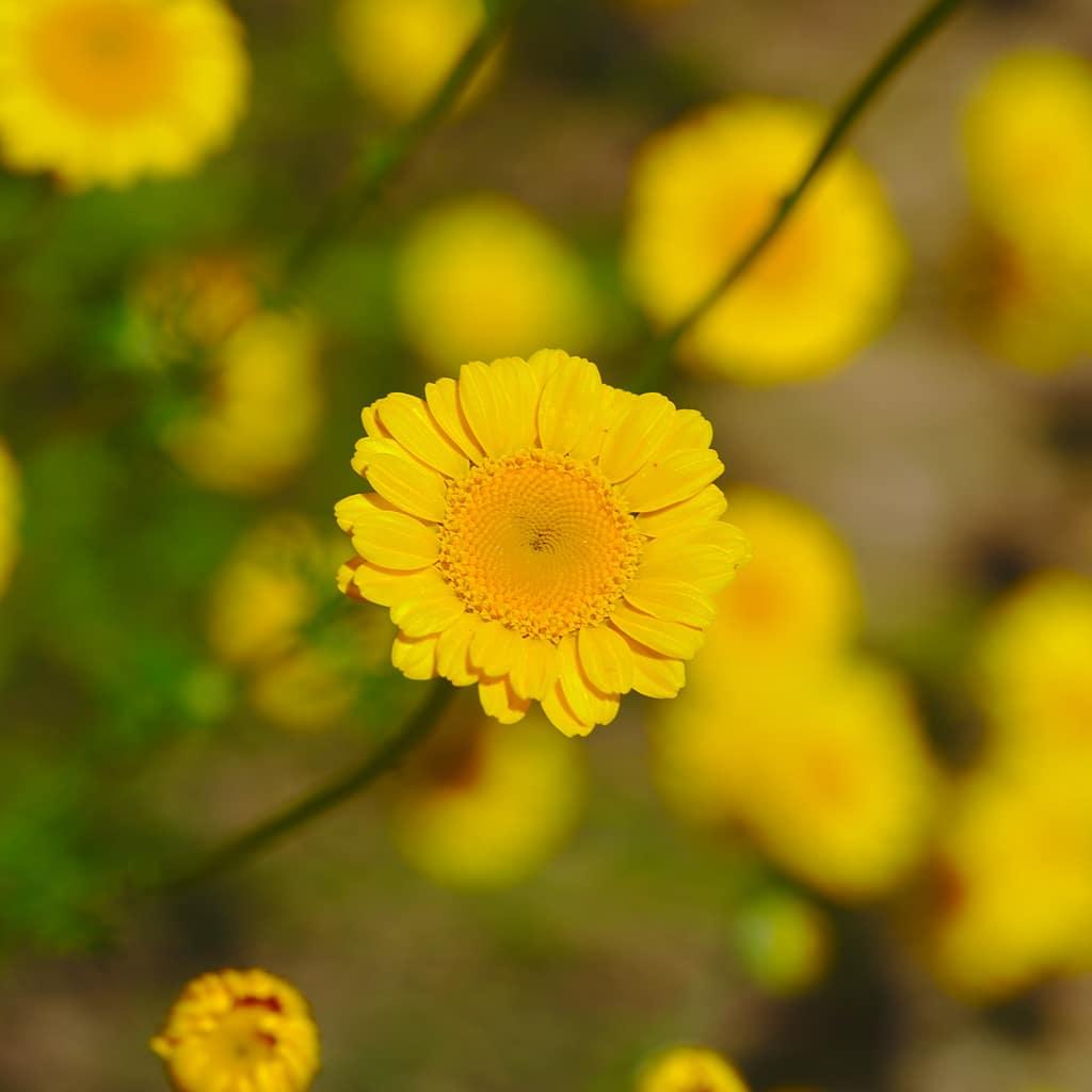 anthemis jaune marguerite