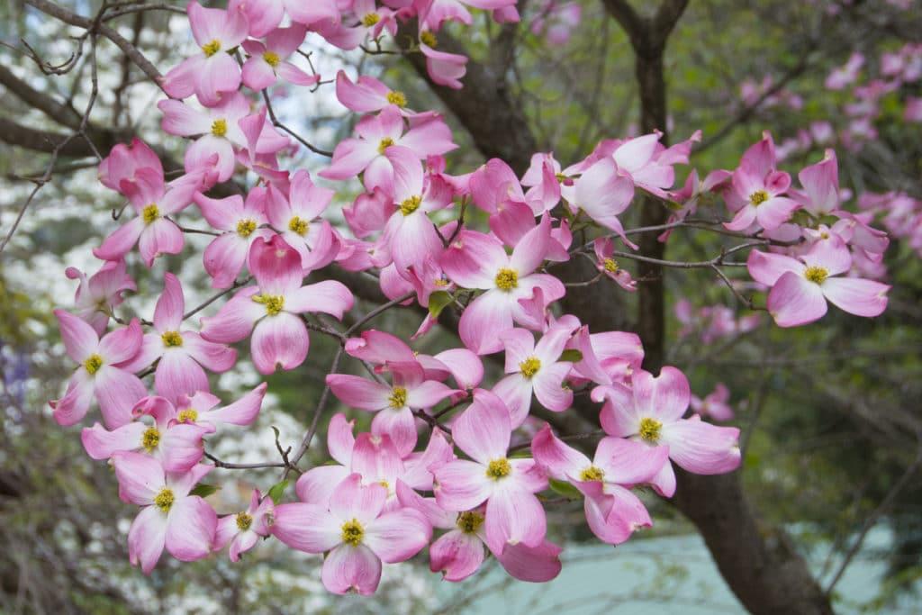 cornouiller a grandes fleurs