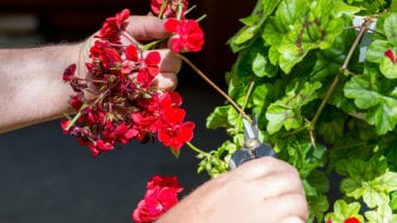 geranium geraniums