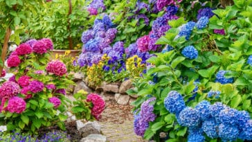 fleurs peu entretien hortensia