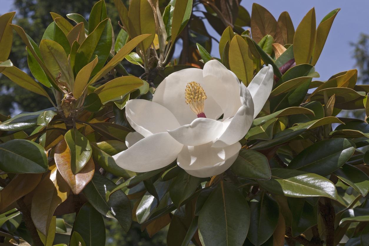 magnolia a grandes fleurs