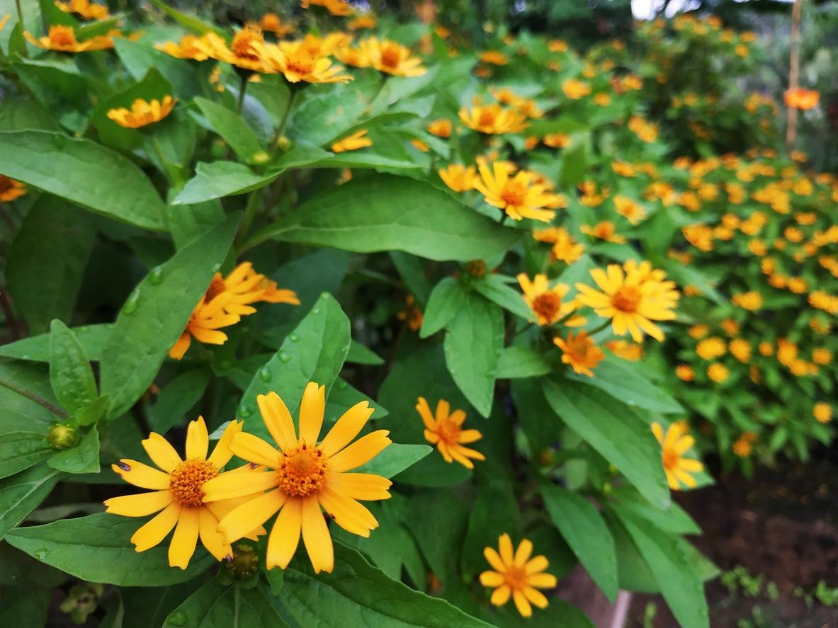 melampodium marguerite jaune