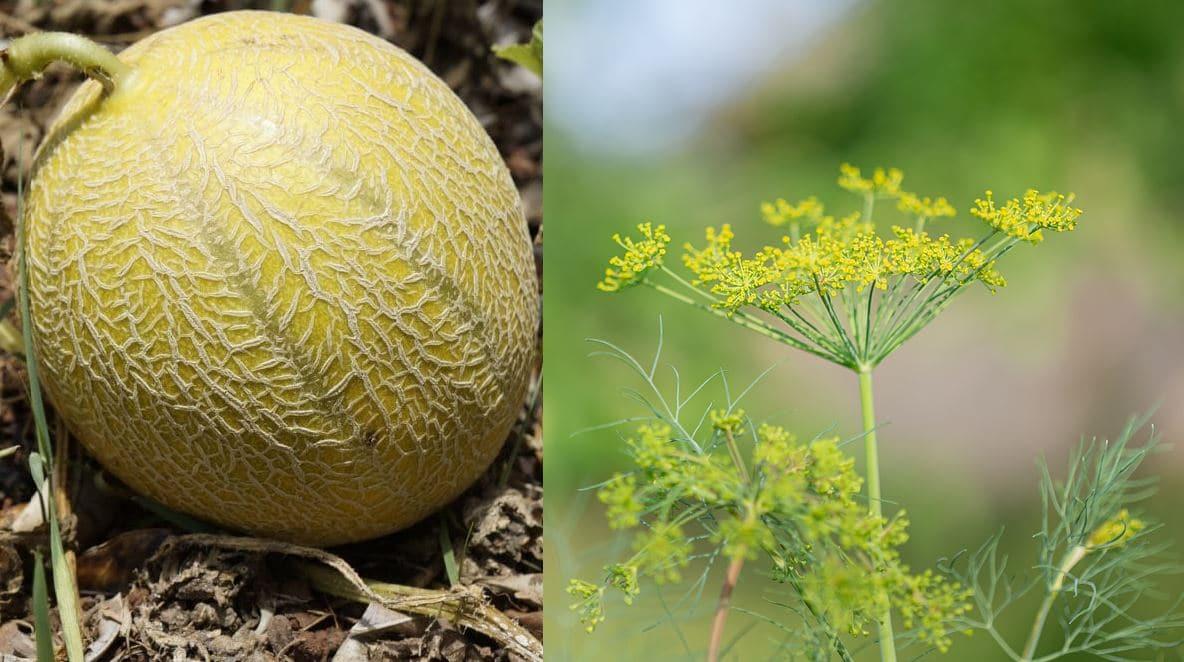 melon aneth
