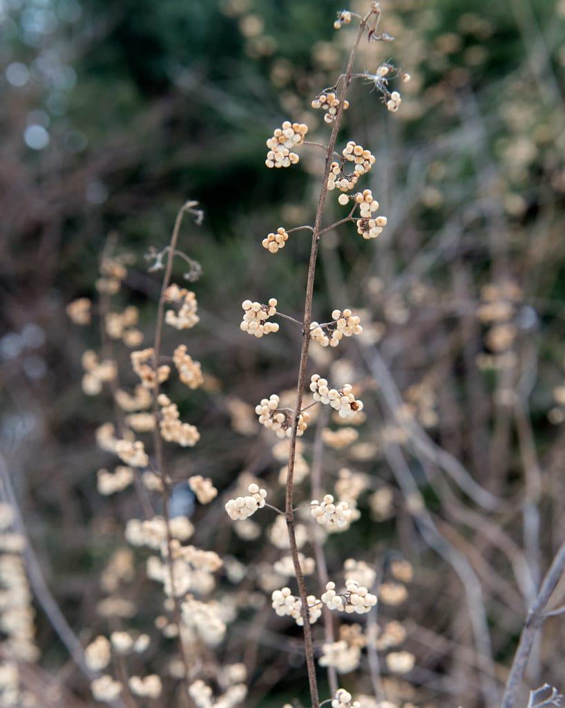 Callicarpa japonica 'Leucocarpa' arbuste bonbons blancs