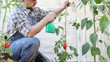 pucerons tomates