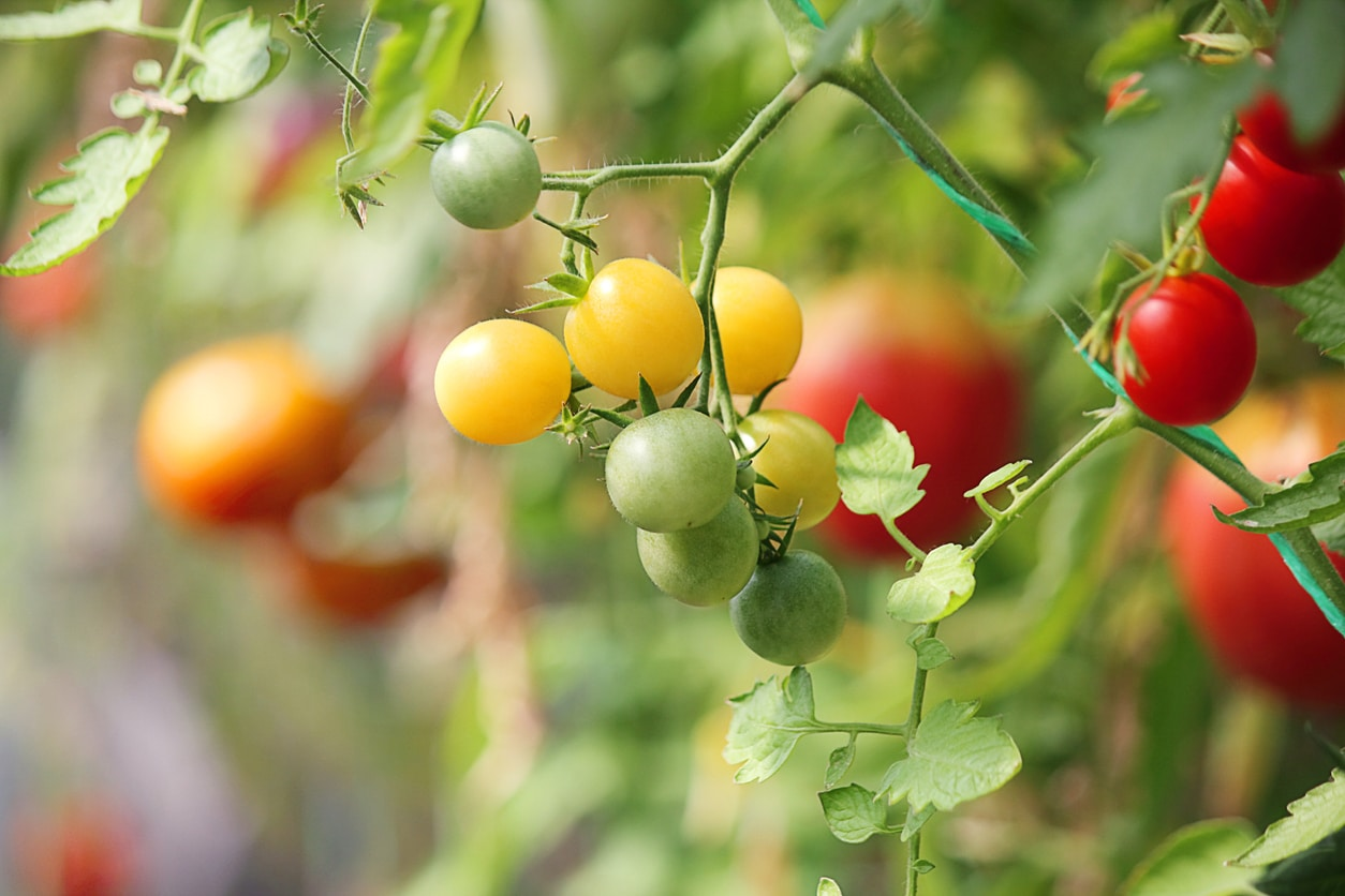 mûrir tomates