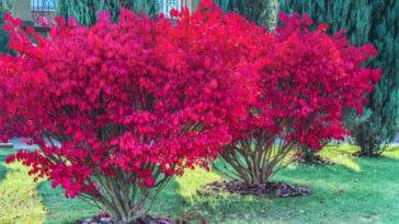 fusain aile jardin d'automne