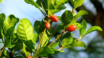 fruit miracle baie miraculeuse Synsepalum dulcificum