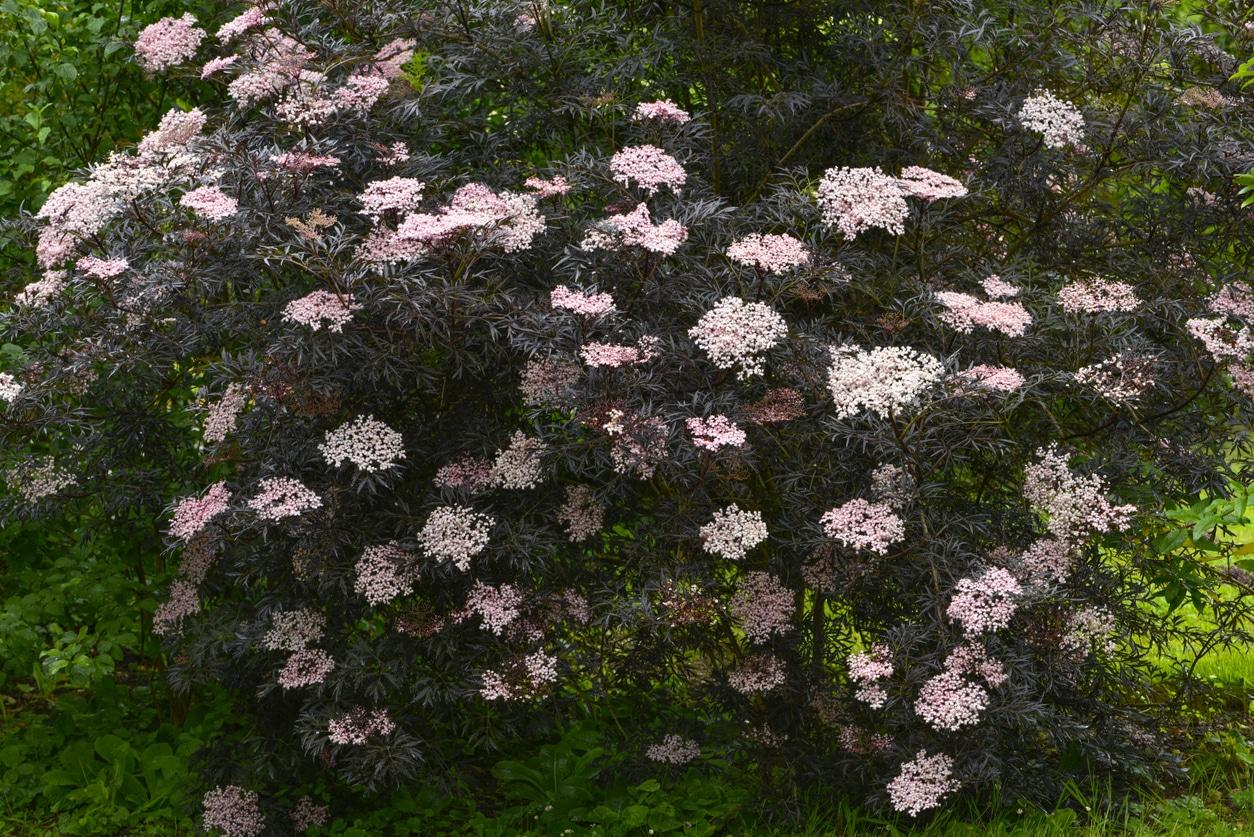 sureau noir Sambucus nigra f. porphyrophylla 'Eva'