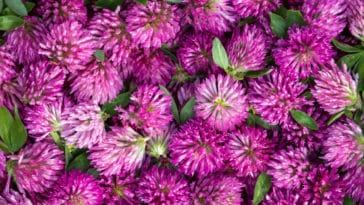 trefle des pres violet