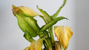 plantes jaunissent feuilles jaunes