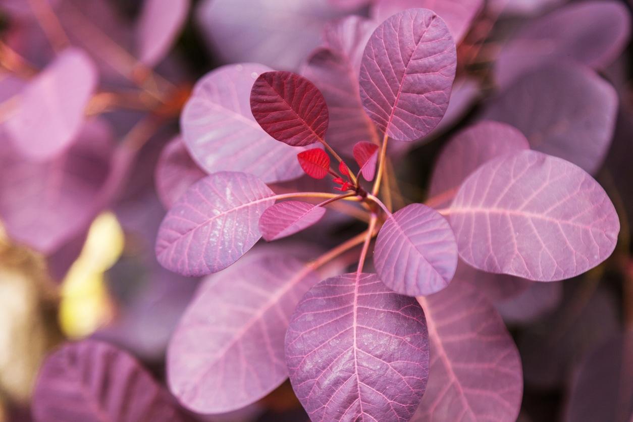 feuillage violet