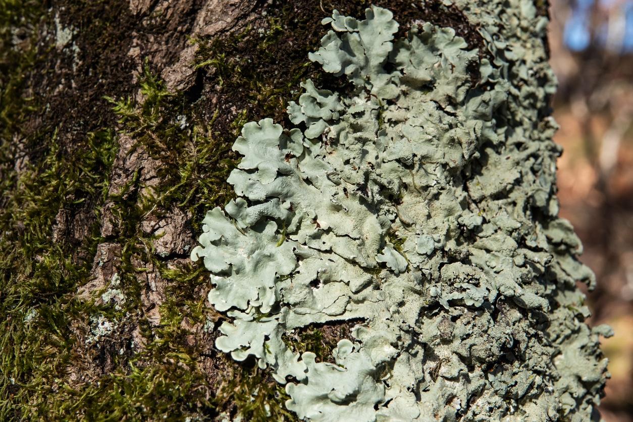 mousse arbre lichen