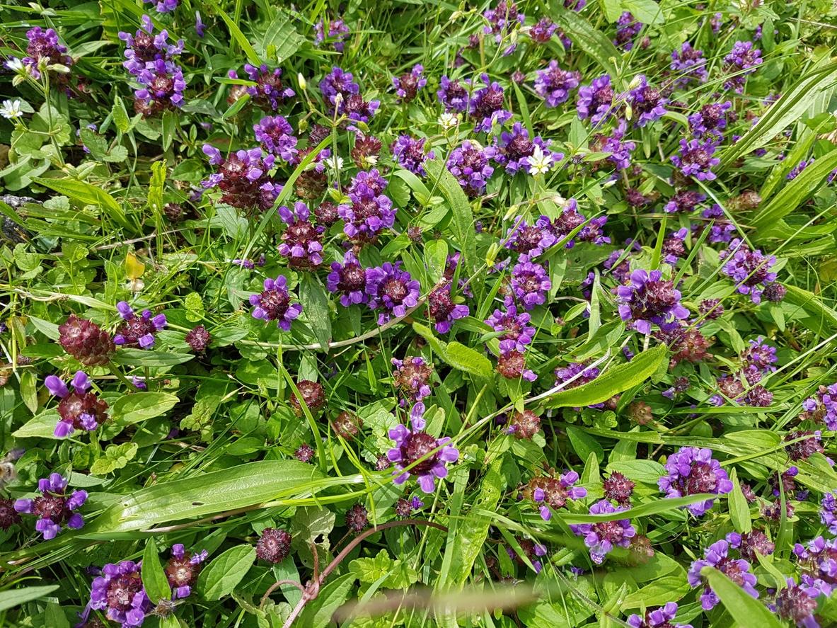 Brunelle Prunella vulgaris