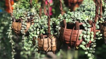 Dischidia pectenoides plante escargot