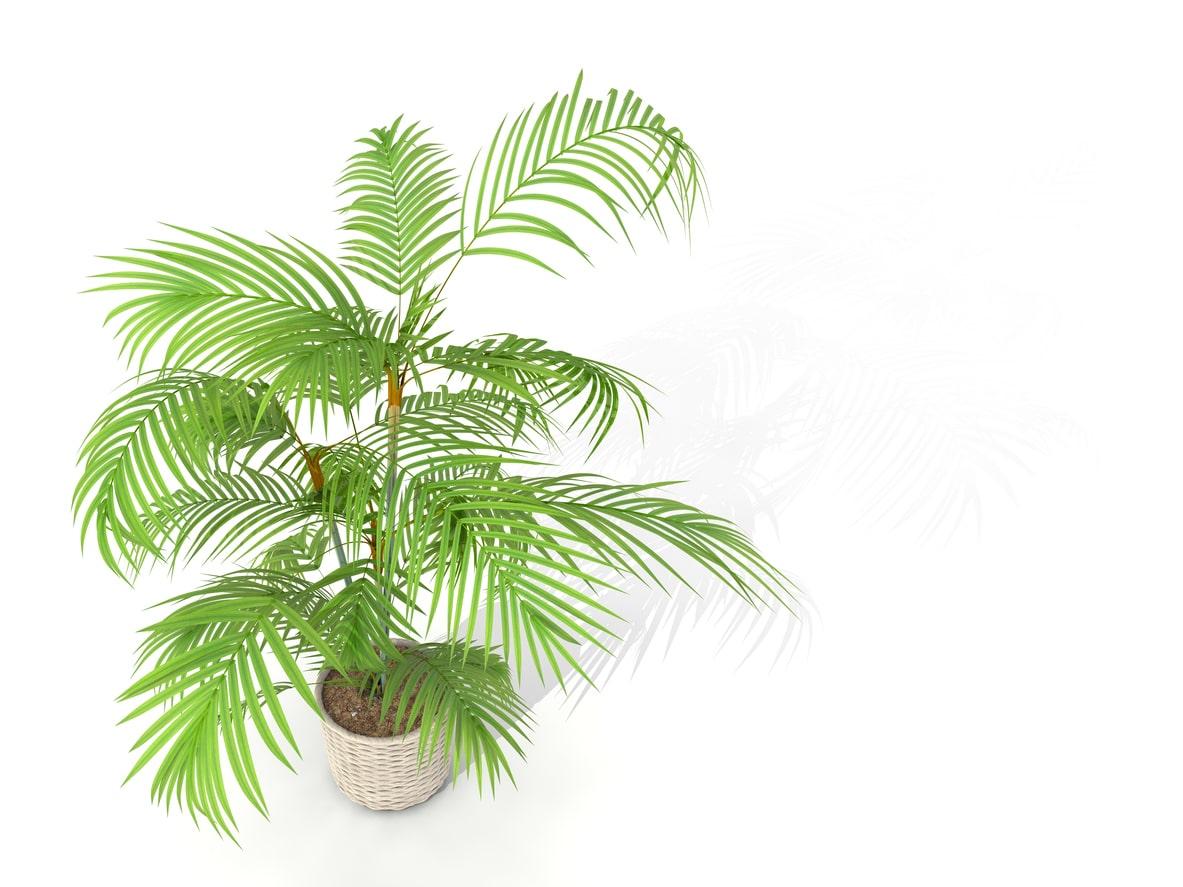palmier de bambou Rhapis excelsa humidité