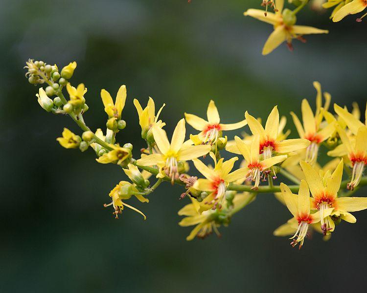 savonnier Koelreuteria paniculata