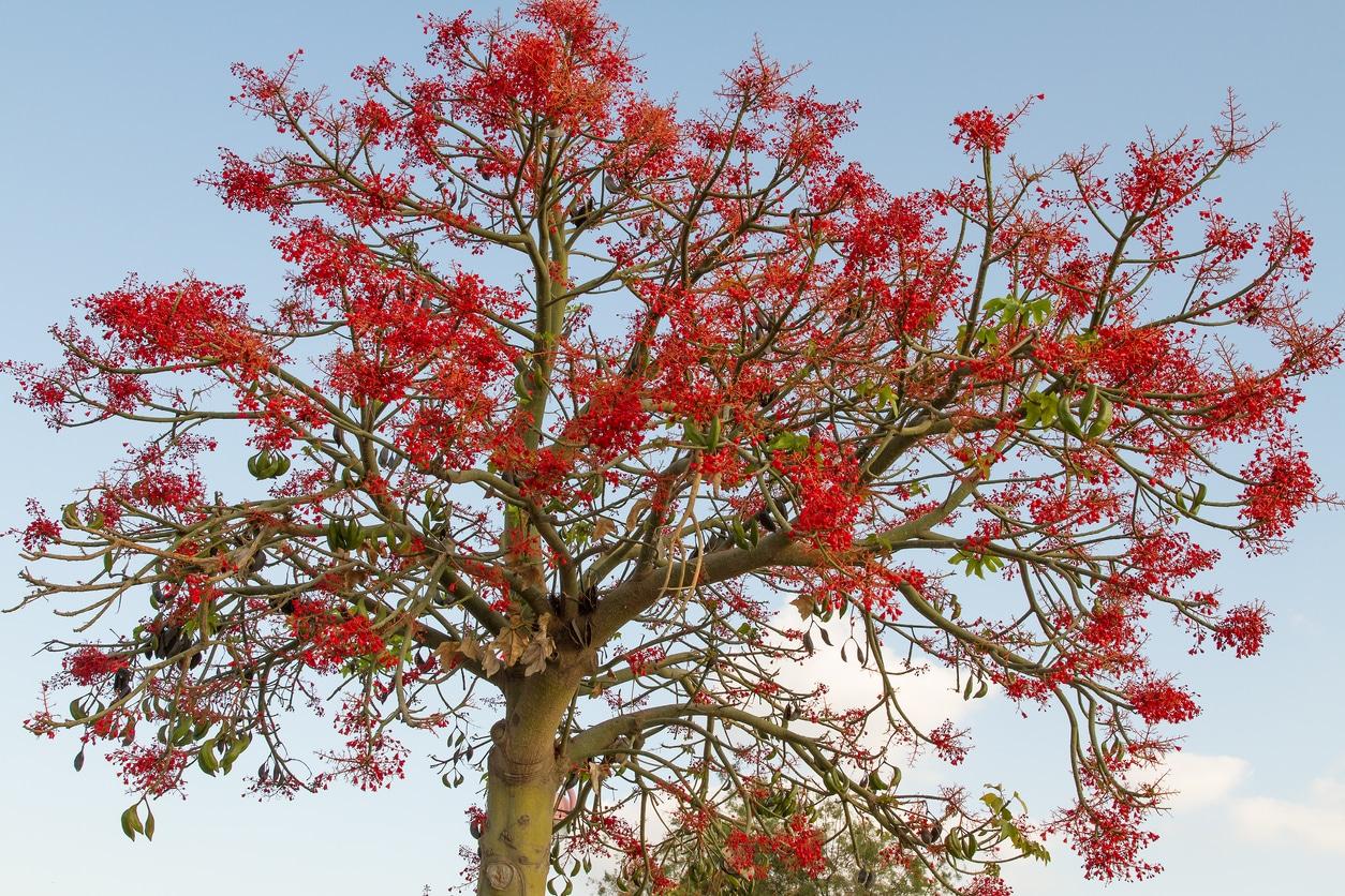 Brachychiton acerifolius arbre de feu flamme