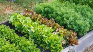 salades jardin semis plantation