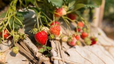 fraises fraisier semis plantation