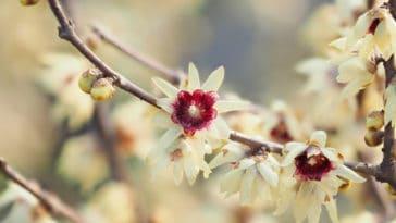 fleurs parfumées chimonanthe chimonathus praecox