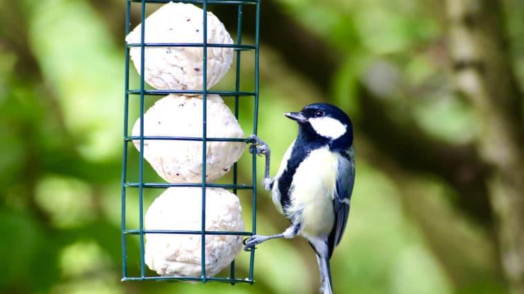 oiseaux hiver boule de graisse
