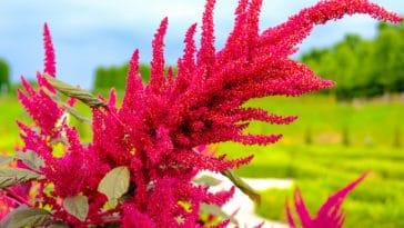 amarante amaranthus