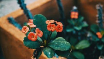 Euphorbia mili poussière