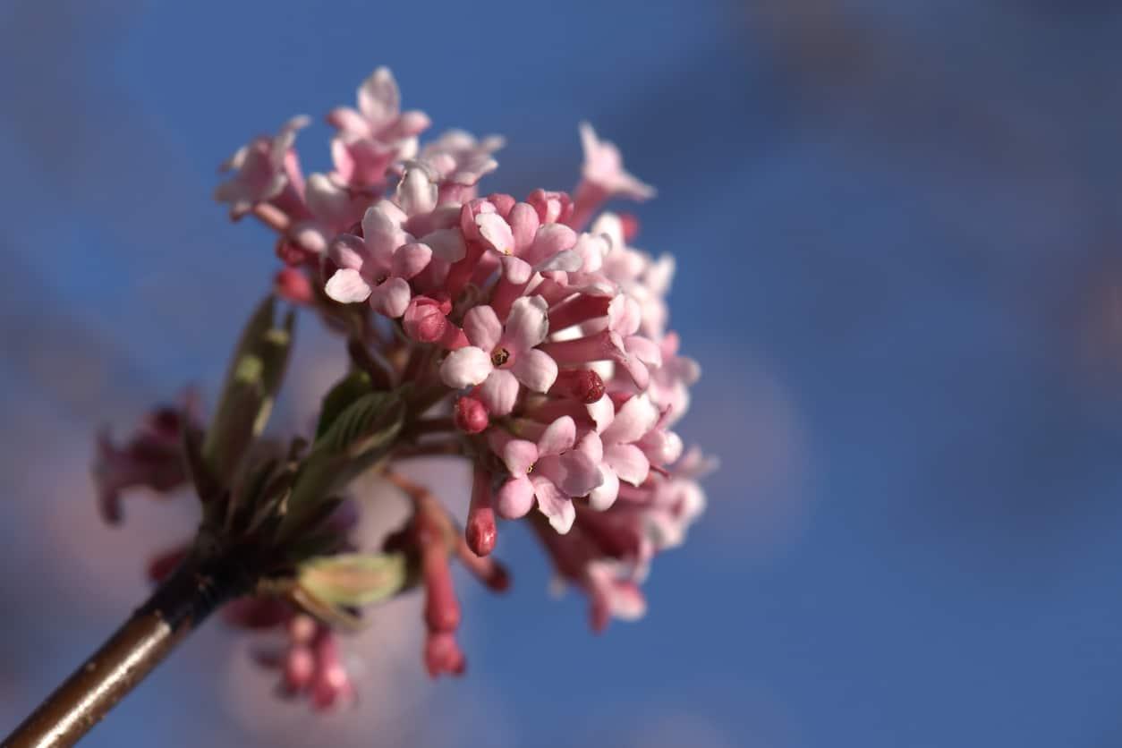 viorne Viburnum x bodnantense Dawn