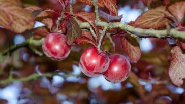 prunier pourpre Prunus cerasifera Pissardii