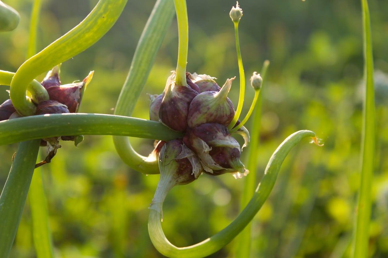 oignon rocambole Allium proliferum