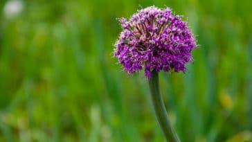 ail rocambole Allium scorodoprasum