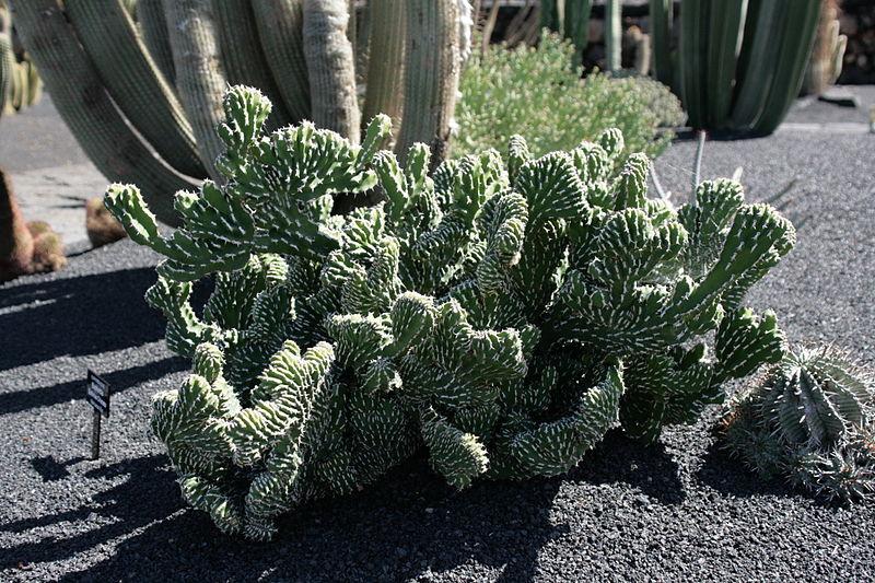 Euphorbia echinus cristata