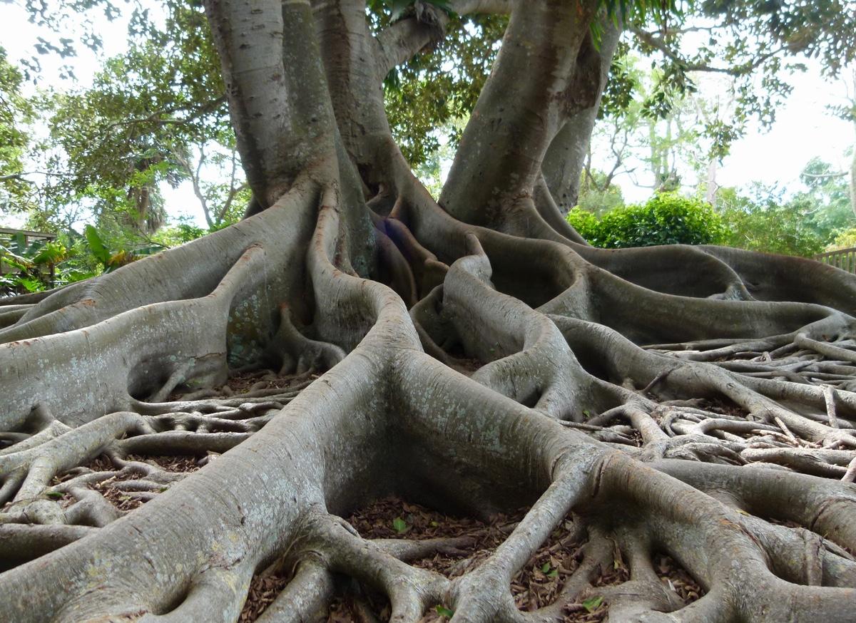 racines racinaire