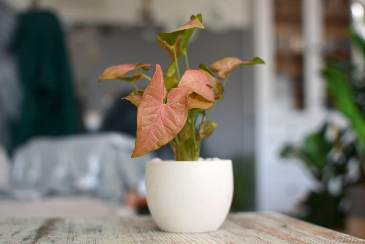Syngonium rose